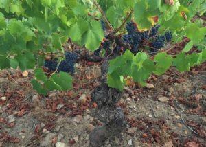 Bodega Y Vinedos Hija De Anibal Black Grape