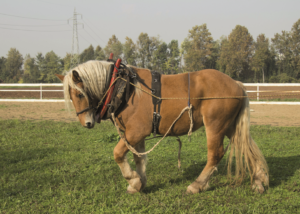 A horse in a team grazes in the territory of the La Quercia Scarlatta winery.