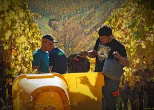 Tractor in the vineyard at Wunsch & Mann