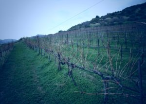 irini silva wines slender rows of grapevines on vineyard near winery