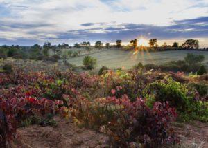 kirios de adrada lush and colorful grapevines on vineyard near winery