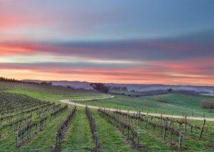 lane vineyards slender rows of vines on vineyards near winery