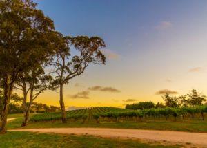 lane vineyards lush wineyards and trees near winery at sunset
