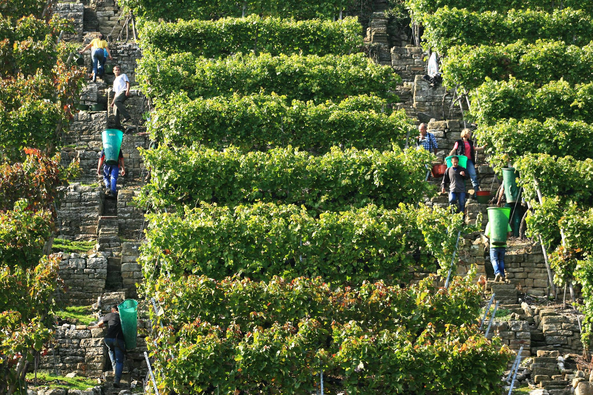 lauffener slender rows of grapevines on vineyard near winery