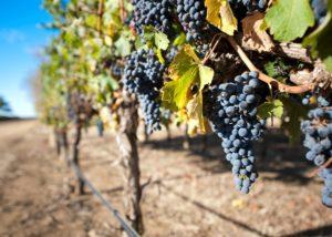 leconfield & hamilton amazing black grapes on vines on the vineyard