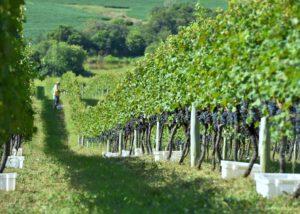 Lidio Carraro Boutique Winery - vine rows