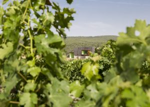 Mas Rodó Vitivinicola green vines at vineyard in Spain