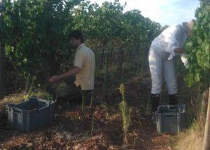 medeiros winemakers harvesting grapes on vineyard near winery