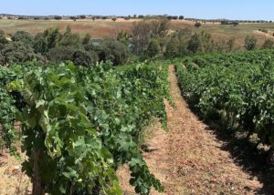 medeiros slender rows of grapevines on vineyard near winery
