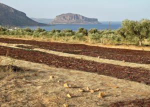 monemvasia winery grape drying process near winery in lovely greece