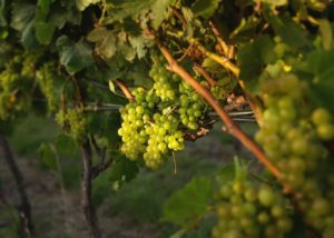 no. 1 family ripe white grapes on vine on vineyard near winery