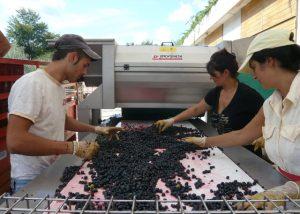 Three winemakers sort grapes before squeezing juice in Capolino Perlingieri.