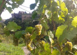 philipps mühle amazing ripe white grapes on vine on vineyards near winery