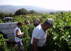 Team harvesting in the vineyard at Domaine des Girasols