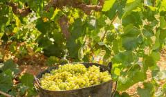 podrumi krešić harvested white grapes in the basket on the vineyard