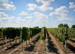podrumi krešić beautiful vineyards near winery at sunny day