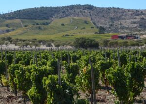 polkura photo of lush and great vineyards against mountain