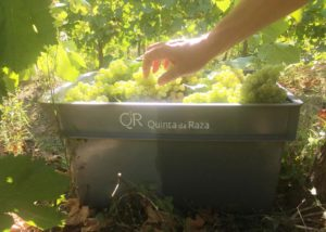quinta da raza harvested white grapes on vineyard near winery