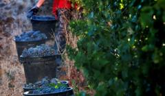quinta da ribeirinha winemaker harvesting ripe grapes on vineyard near winery