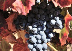quinta do zambujeiro amazing ripe black grapes on vine on vineyard
