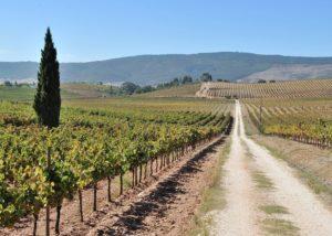 quinta do zambujeiro slender rows of grapevines on vineyard near winery
