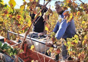 quinta do zambujeiro harvest process on vineyard near winery in portugal