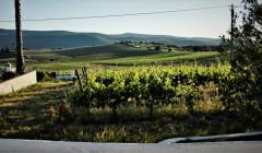 quinta do zambujeiro lush vineyard with old vines near winery