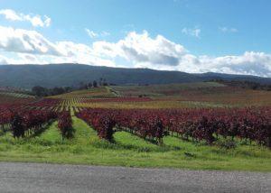 quinta do zambujeiro lush vineyard near winery in lovely portugal