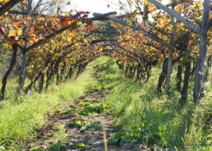 renčel wines slender rows of grapevines on vineyard near winery
