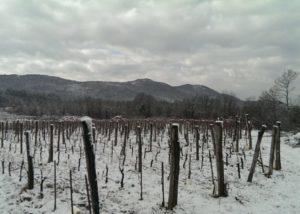 renčel wines snowy vineyard near winery in lovely slovenia