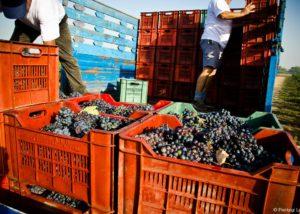 grapes inside boxes during harvesting process at Romaldo Greco vineyard