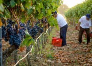 Romaldo Greco vineyard harvesting process in Italy