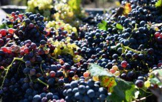 Harvested ripe black and white grapes before making wine at Cantina Sampietrana.