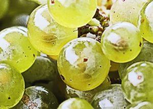 White grape variety at Château de Rayne Vigneau