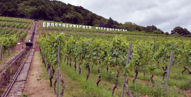staatlicher hofkeller slender rows of grapevines on the vineyard near winery