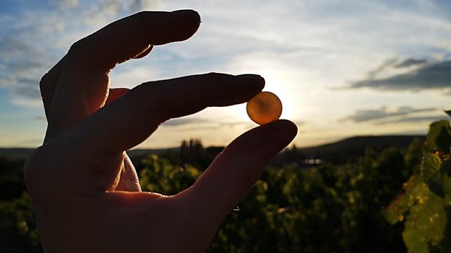steitz winemaker holding grape in hands in the vineyard near winery