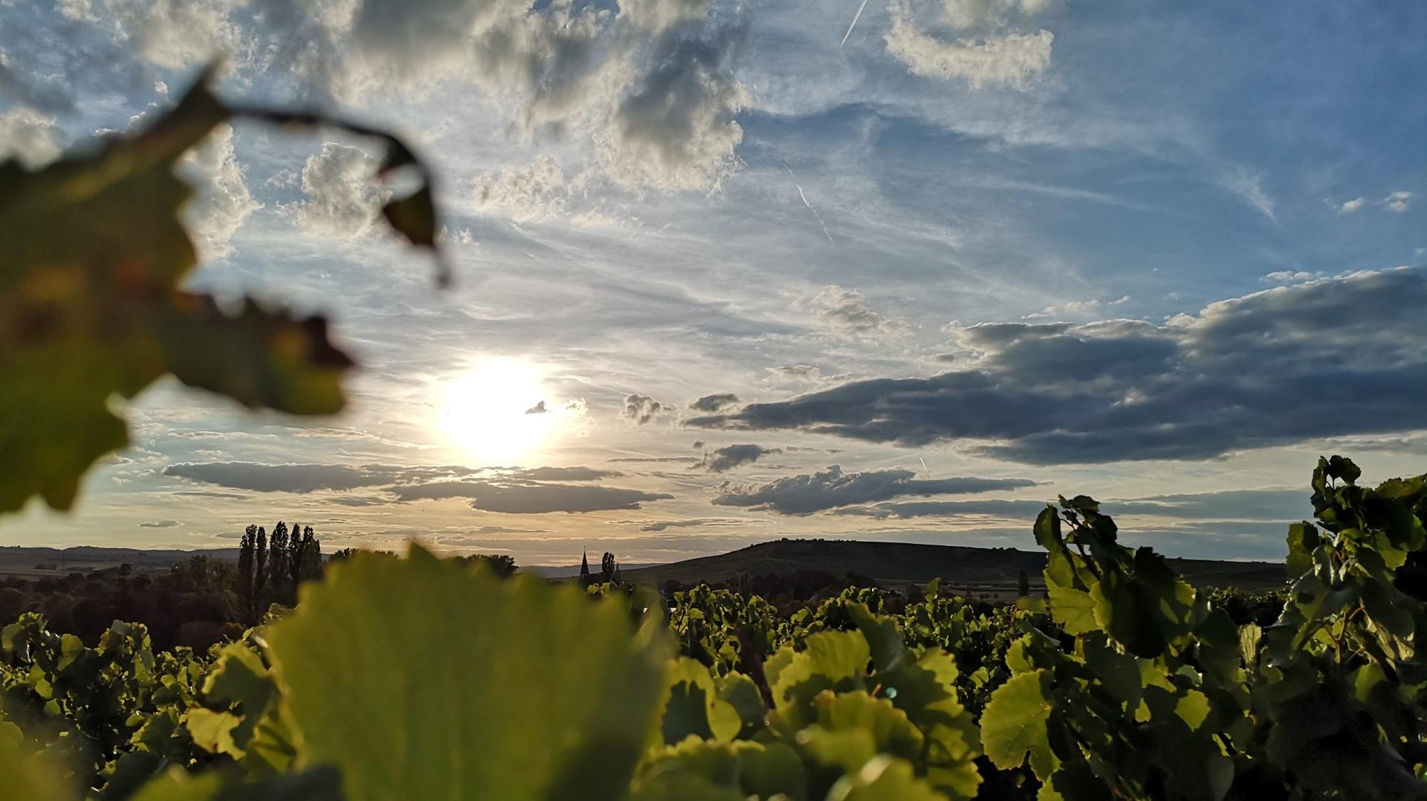 steitz lush and amazing vineyards near winery at sunrise in germany