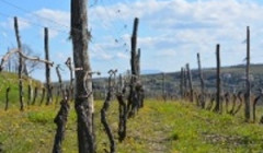 steras wines amazing grapevines on vineyard near winery in slovenia