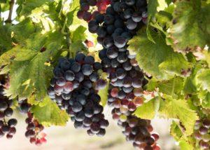 tamburlaine-organic-wines-grapes