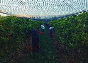 urlar winemakers harvesting grapes on vineyard near winery in new zealand