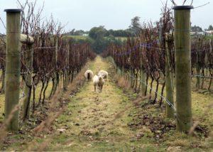 urlar sheeps in the vineyard near winery in lovely new zealand