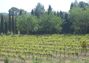 Mas Gourdou - field of vines