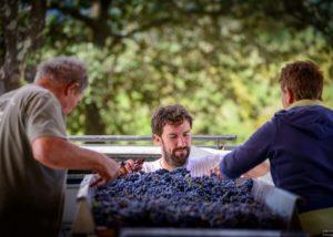 Mas Gourdou - sort the grapes