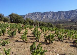 The vines under the sun at Domaine Jorel