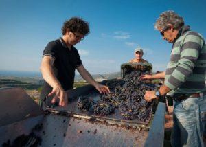 Tenute Dettori vineyard harvesting located in Italy