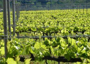 vineyard view at Tenuta Neri Giovanni e Valeria winery located in Italy
