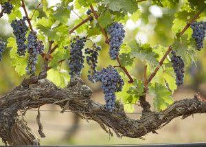 vinyes del terrer black grapes on the vine on the vineayrd near winery