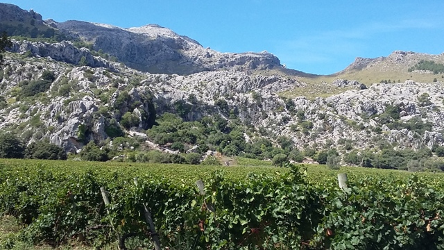 vinyes mortitx slender rows of grapevines near winery in spain