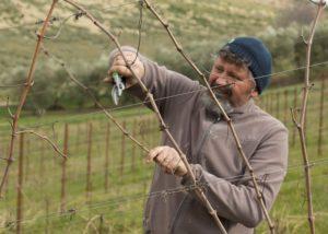 Winemaker caring for vines in amazing La Quercia Scarlatta winery.