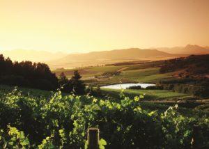 vondeling wines amazing and lush vineyards near winery at sunset